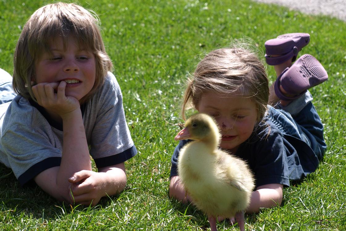Entenküken mit Kindern im Gras auf dem Wilmershof