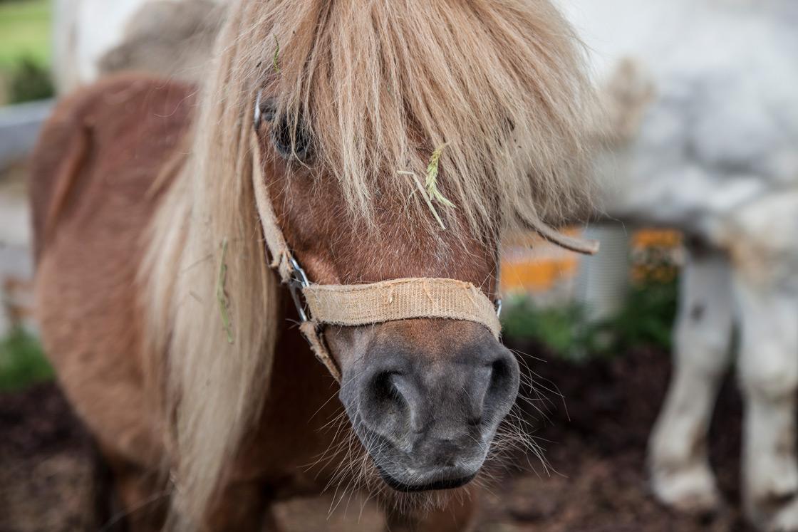 Pony auf dem Wilmershof